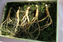 FloraFarm Ginseng